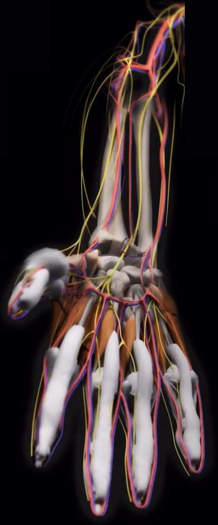 рука с нервными окончаниями, кровеносными капиллярами и венами
